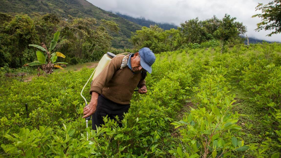 En Bolivie, les pesticides des plantations de coca menacent les abeilles