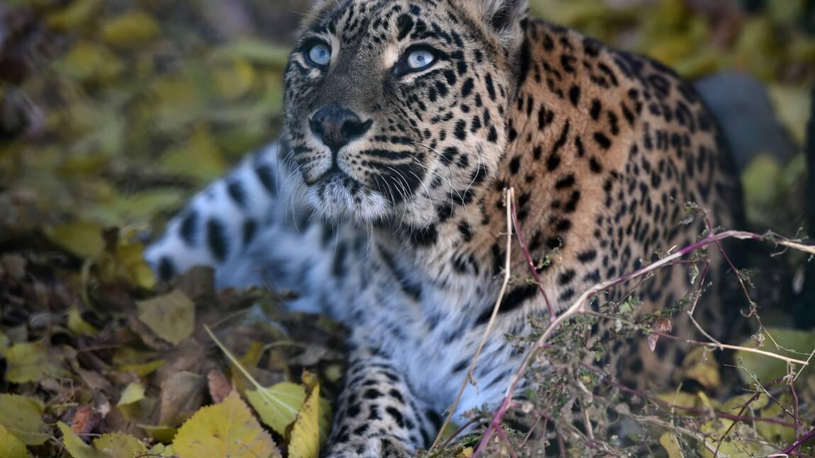 Inde : des drones et des éléphants pour retrouver un léopard en fuite