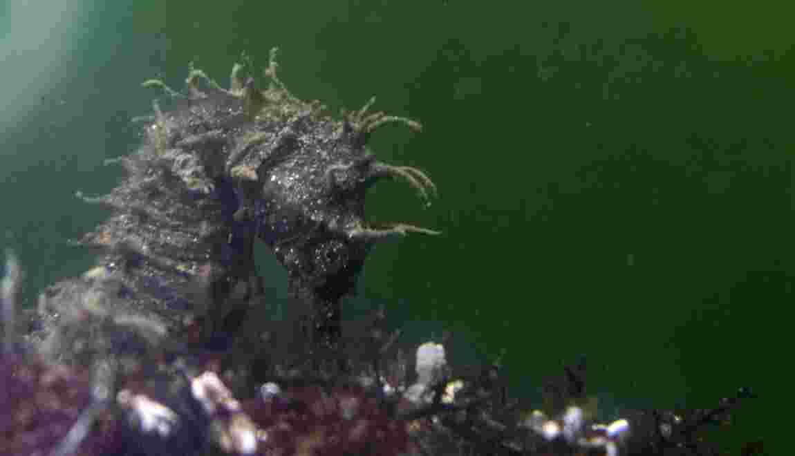 L'hippocampe moucheté, trésor de la lagune de Thau dans l'Hérault