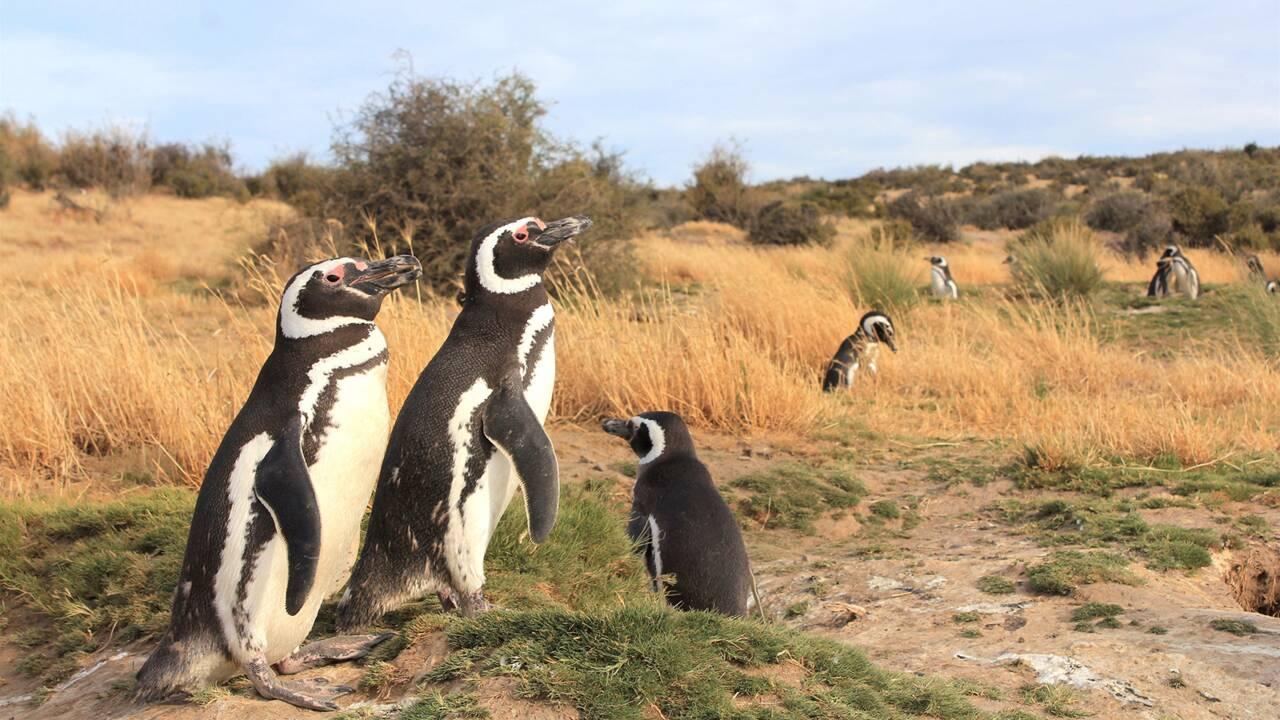 Pourquoi des milliers de manchots de Magellan s'échouent-ils sur les côtes sud-américaines ?