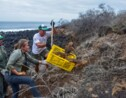 Des iguanes réintroduits sur une île des Galapagos où ils avaient disparu