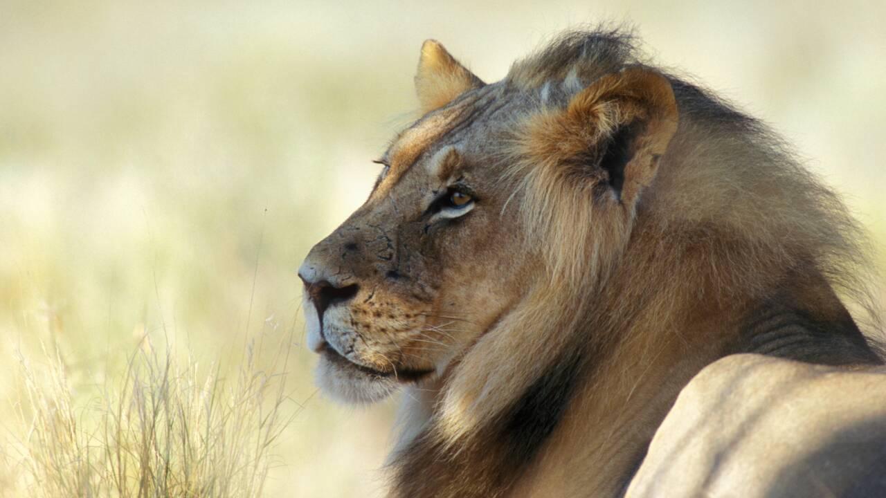 En Afrique du Sud, des lions élevés spécialement pour la chasse aux trophées