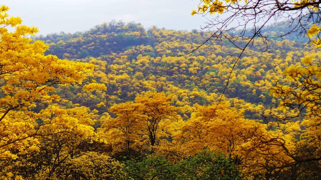 Une fois par an, cette forêt d'Equateur connaît une floraison exceptionnelle qui la recouvre de fleurs jaunes