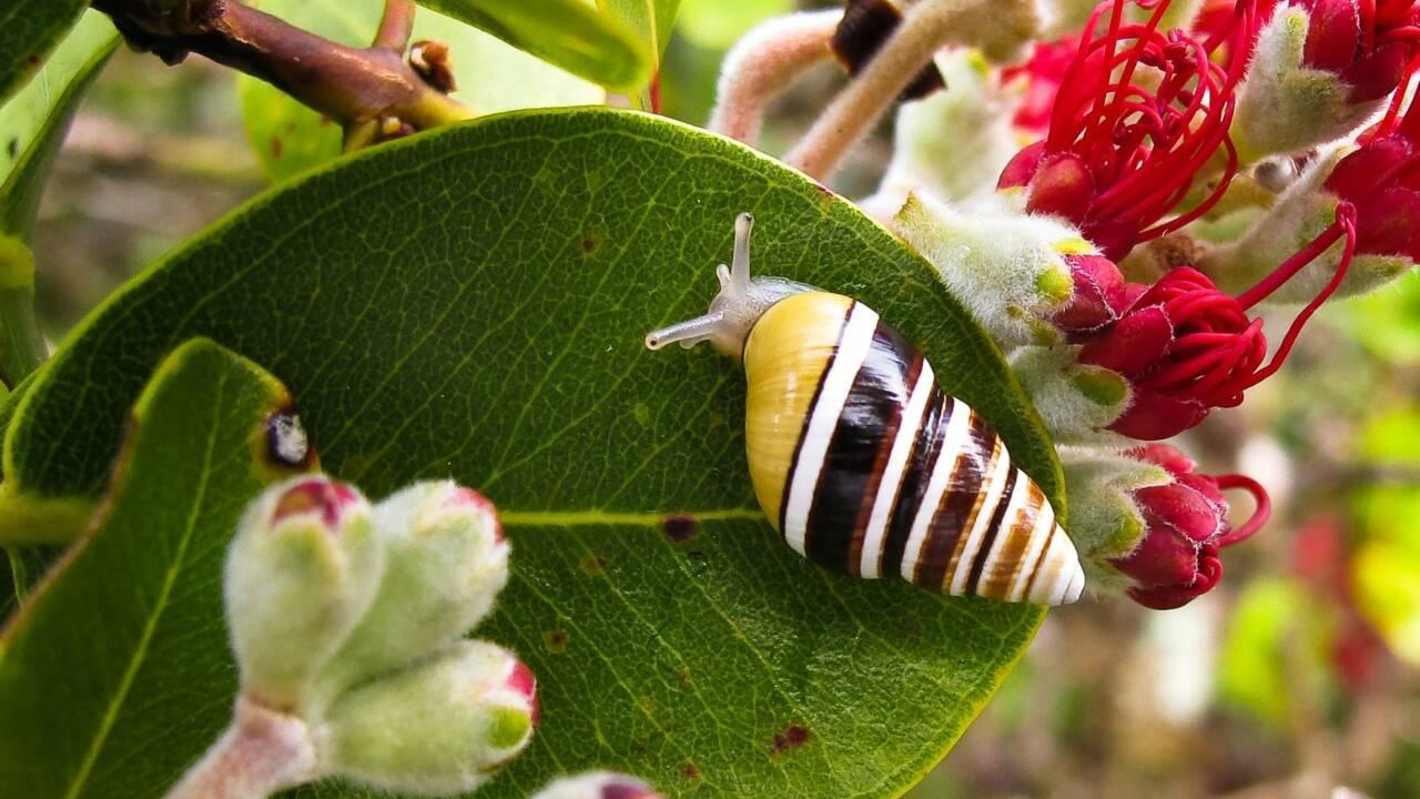 George, le dernier escargot arboricole de son espèce, s'est éteint à Hawaii