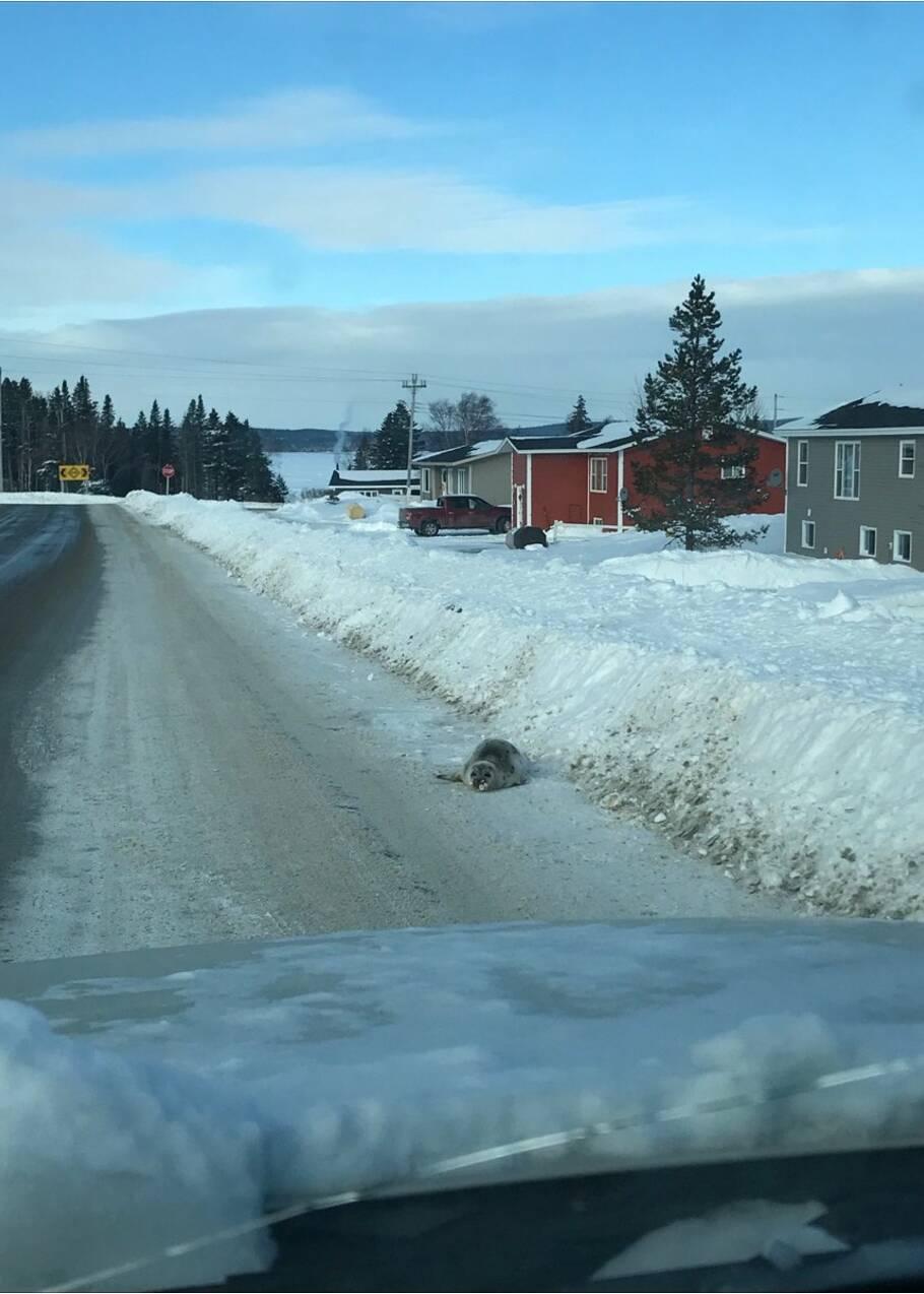 Au Canada, une invasion de phoques sème le trouble dans un village