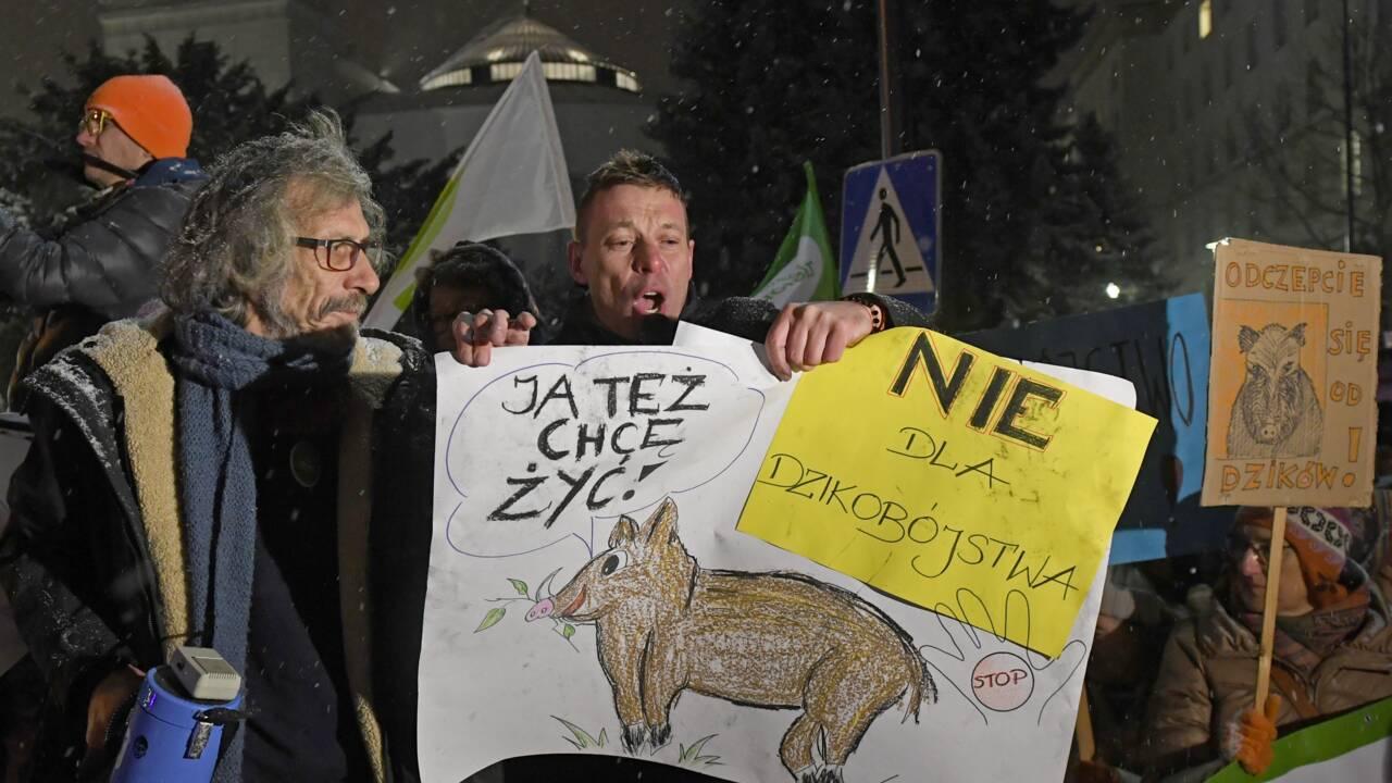 Pologne: un ministre dément tout massacre de sangliers dû à la peste porcine