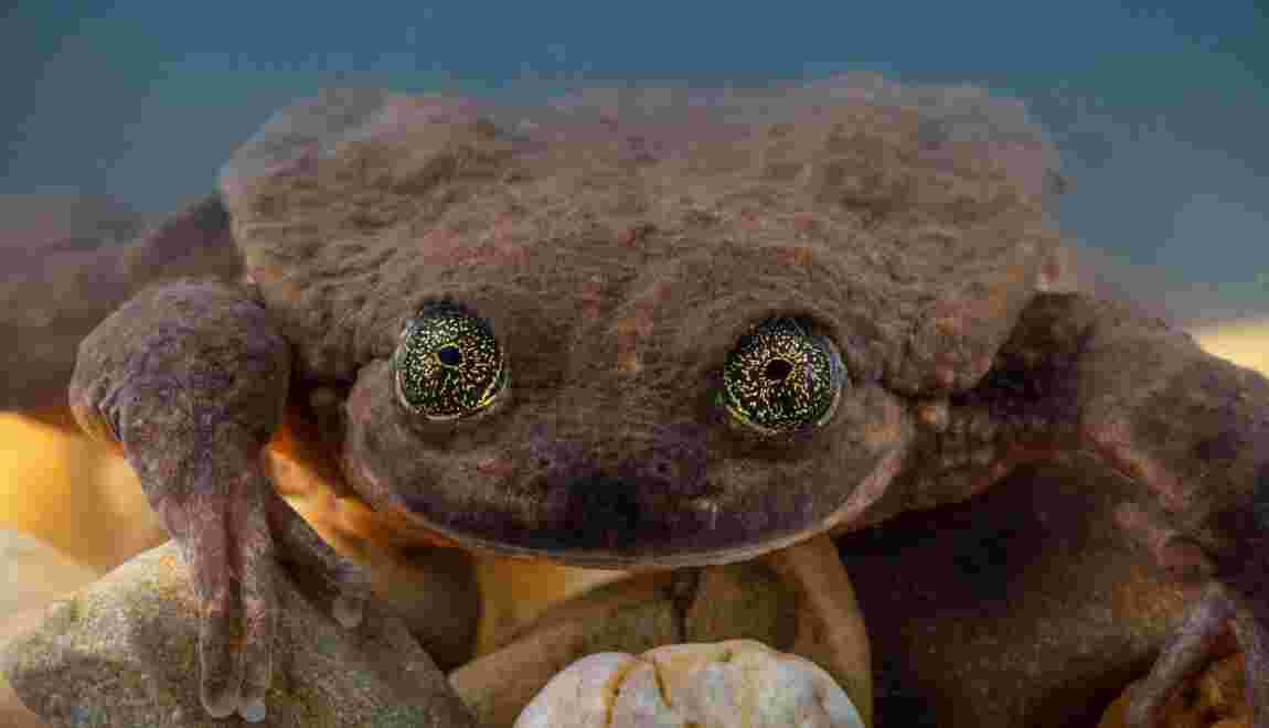 Bolivie : les grenouilles Romeo et Juliette apprennent à se connaître