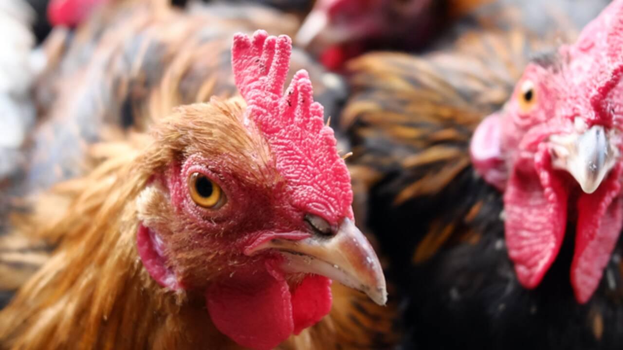 On compte trois fois plus de poulets que d'êtres humains sur la planète