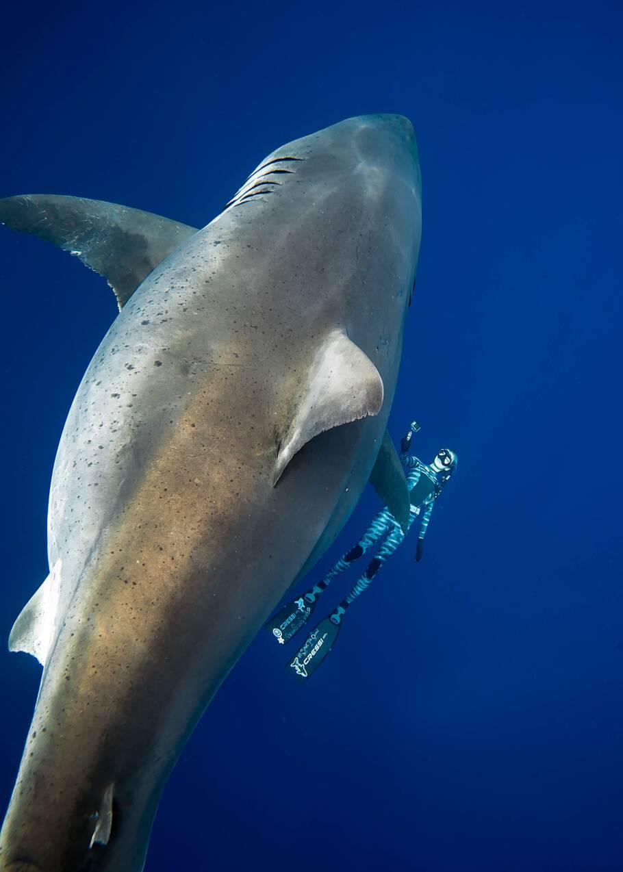 Des plongeurs nagent avec une femelle requin blanc au large d'Hawaii