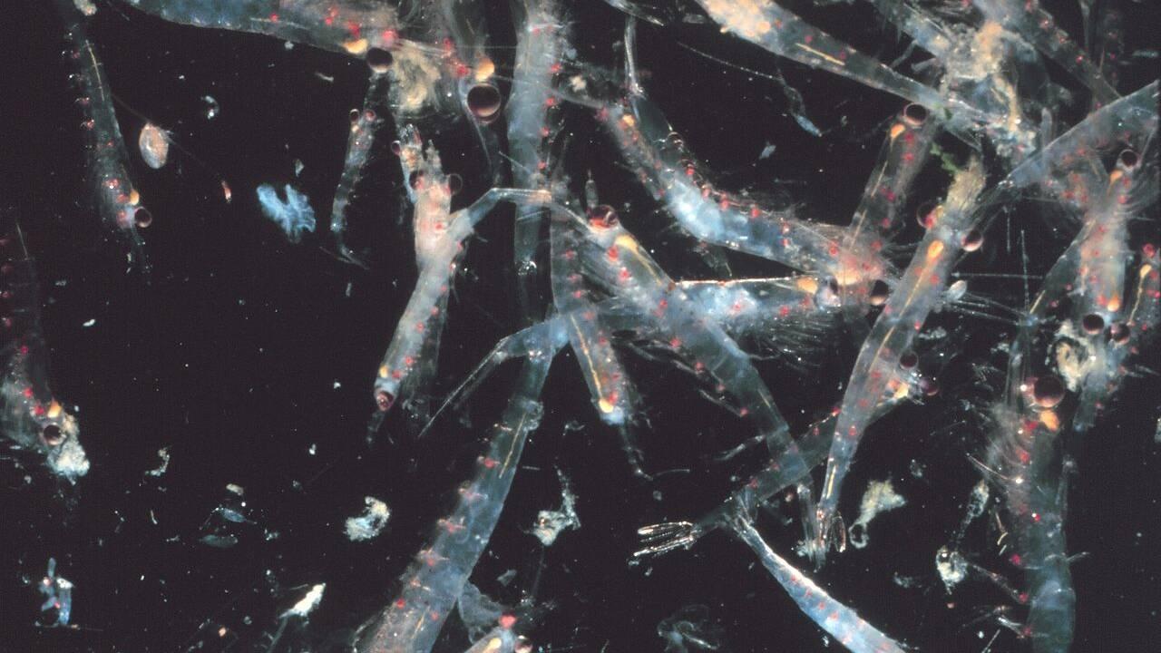 Le krill déserte l'océan Austral à cause du réchauffement climatique