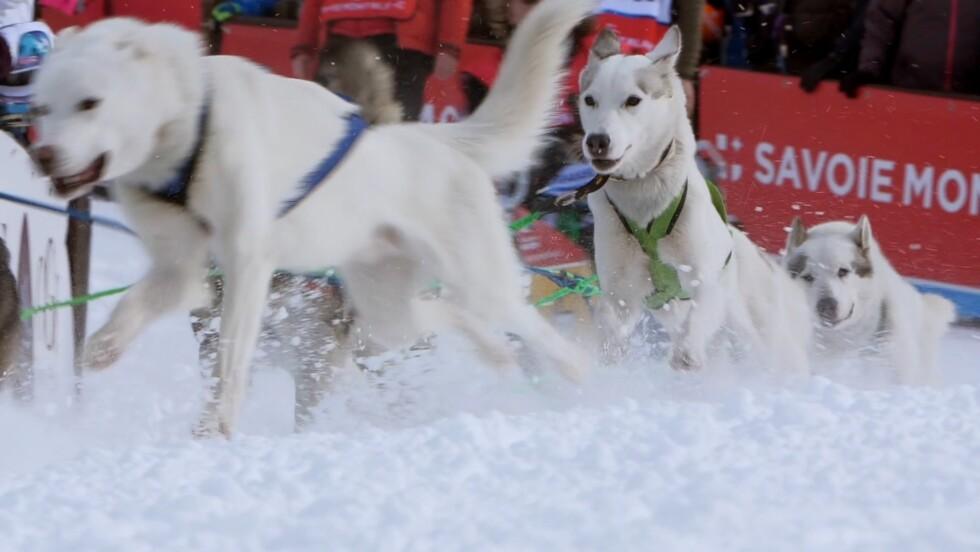 Grande Odyssée : les chiens de traîneau, ces athlètes de haut niveau