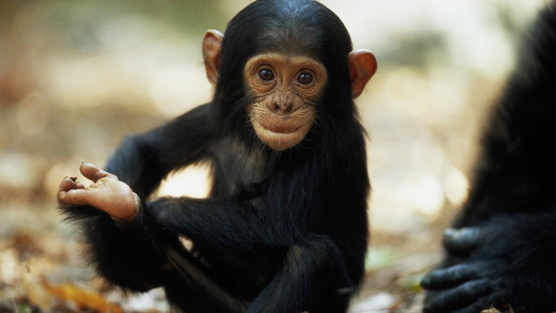 La reconnaissance faciale, nouvelle arme contre le trafic de chimpanzés ?