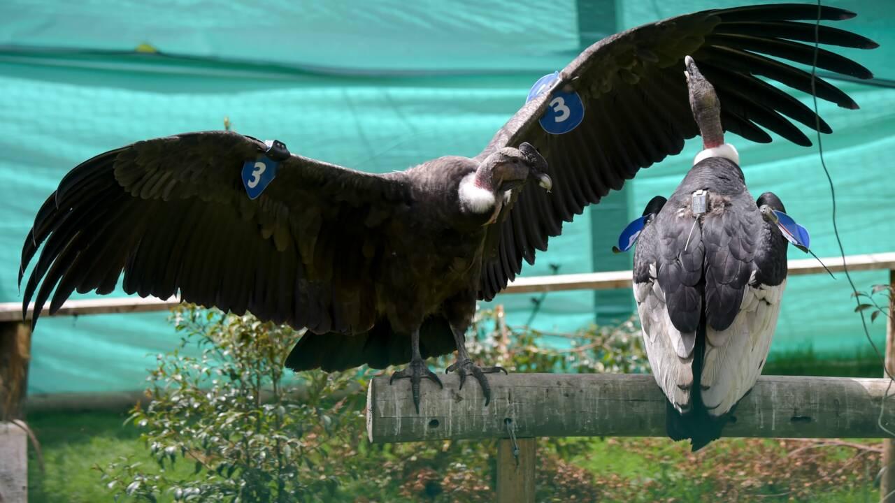 En Colombie, des condors probablement empoisonnés par des éleveurs reprennent leur envol