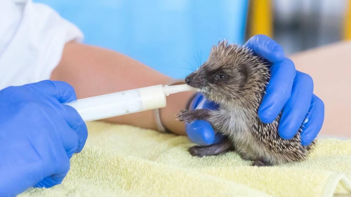 Aux petits soins de la faune sauvage à l'école vétérinaire de Maisons-Alfort