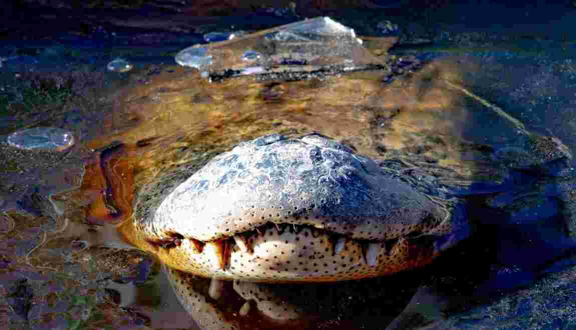 Comment les alligators survivent-ils au froid et au gel aux Etats-Unis ?