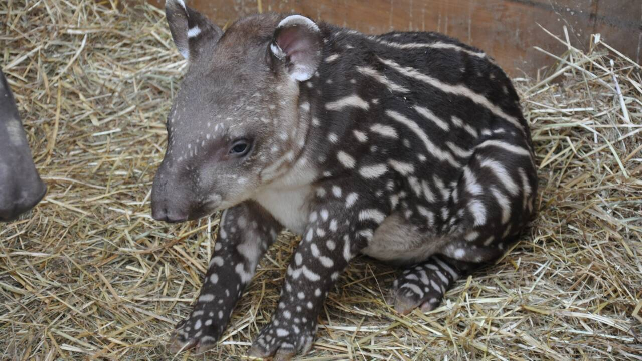 Un petit tapir est né pour la première fois à Planète Sauvage