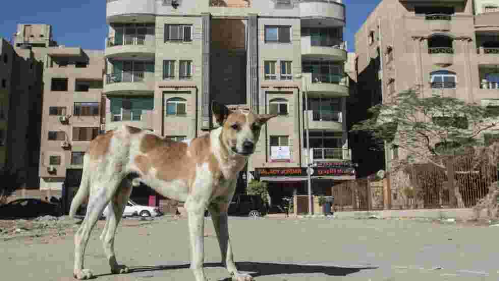 La prolifération des chiens errants, un autre défi à relever dans les rues du Caire