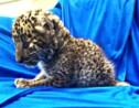 Inde: un bébé léopard retrouvé dans un bagage à main