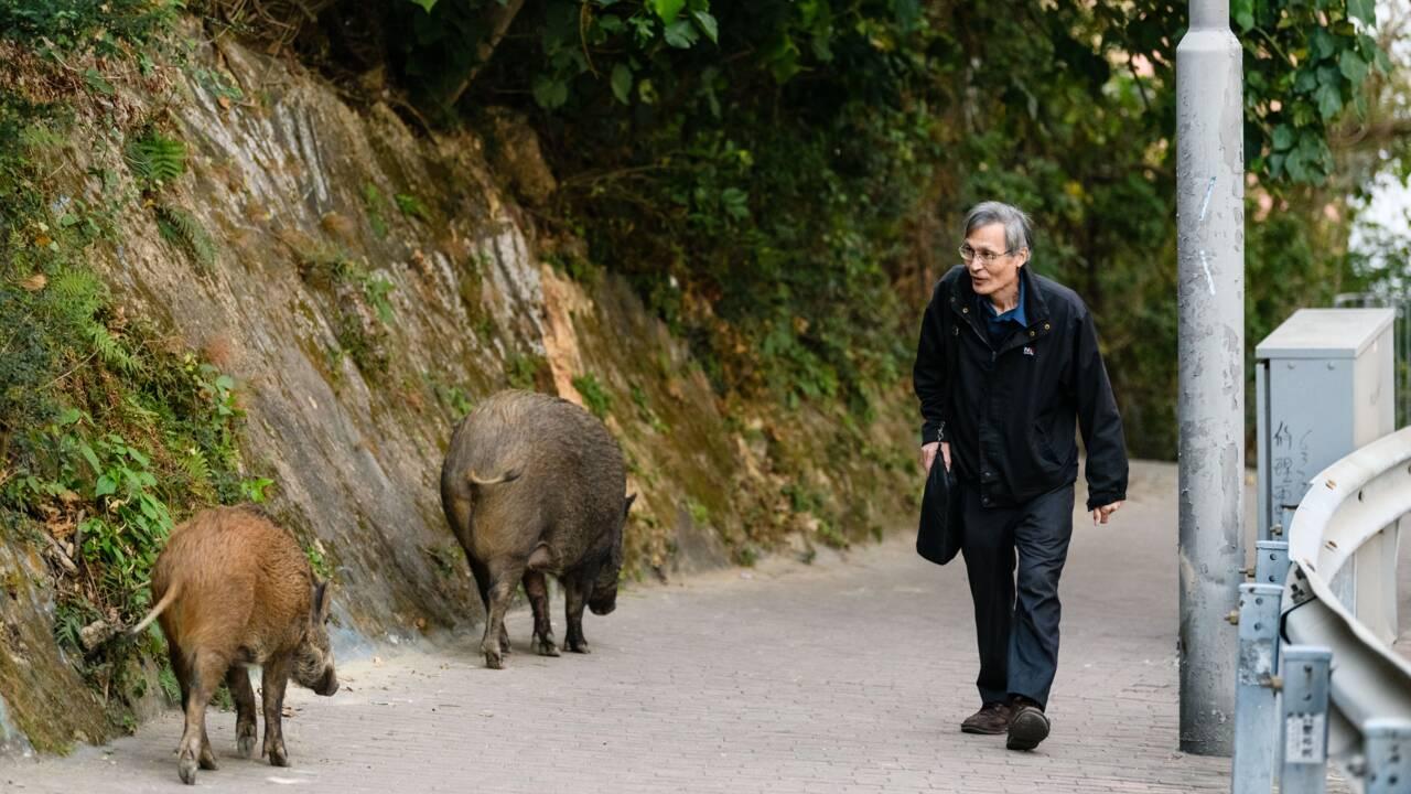 Polémique porcine: les sangliers sauvages sèment la zizanie à Hong Kong