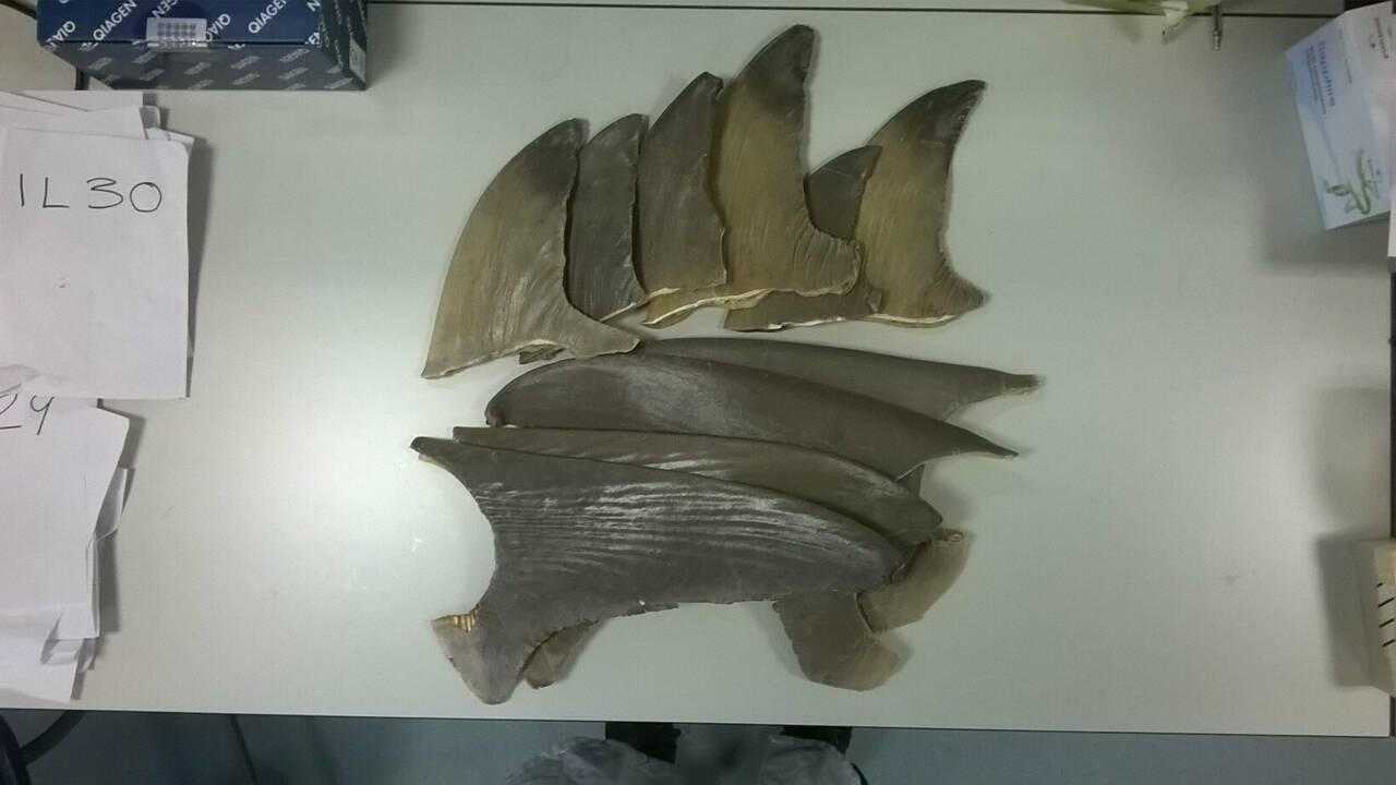 Au Royaume-Uni, des fish and chips cacheraient de la viande de requin en danger d'extinction