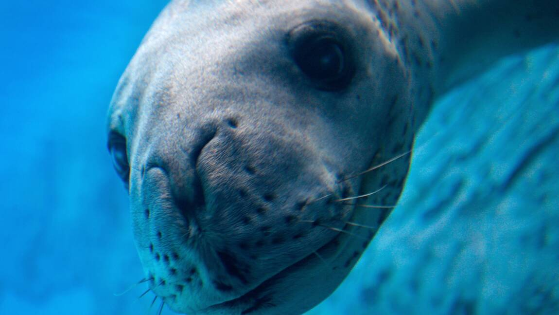 Nouvelle-Zélande : des scientifiques découvrent une clé USB exploitable dans les déjections d'un léopard de mer