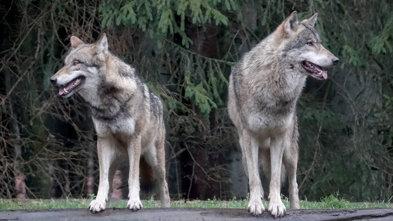 Allemagne: les loups prolifèrent, les règles d'abattage assouplies