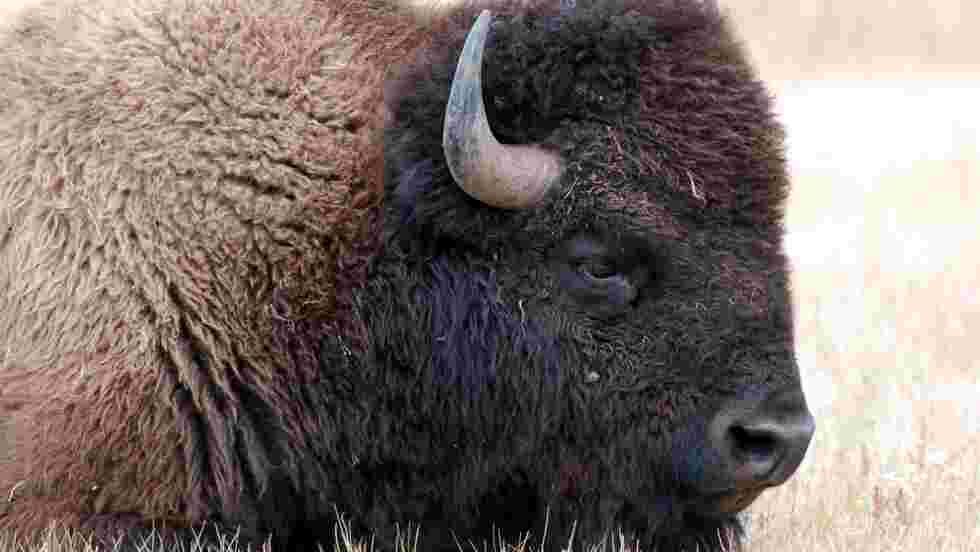 Comment les Amérindiens sauvent les bisons de l'extinction
