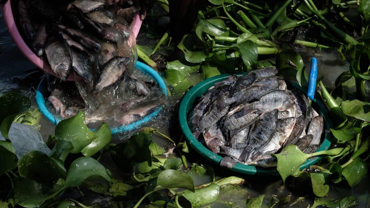 La jacinthe d'eau, fléau vert qui ronge le coeur bleu de l'Afrique
