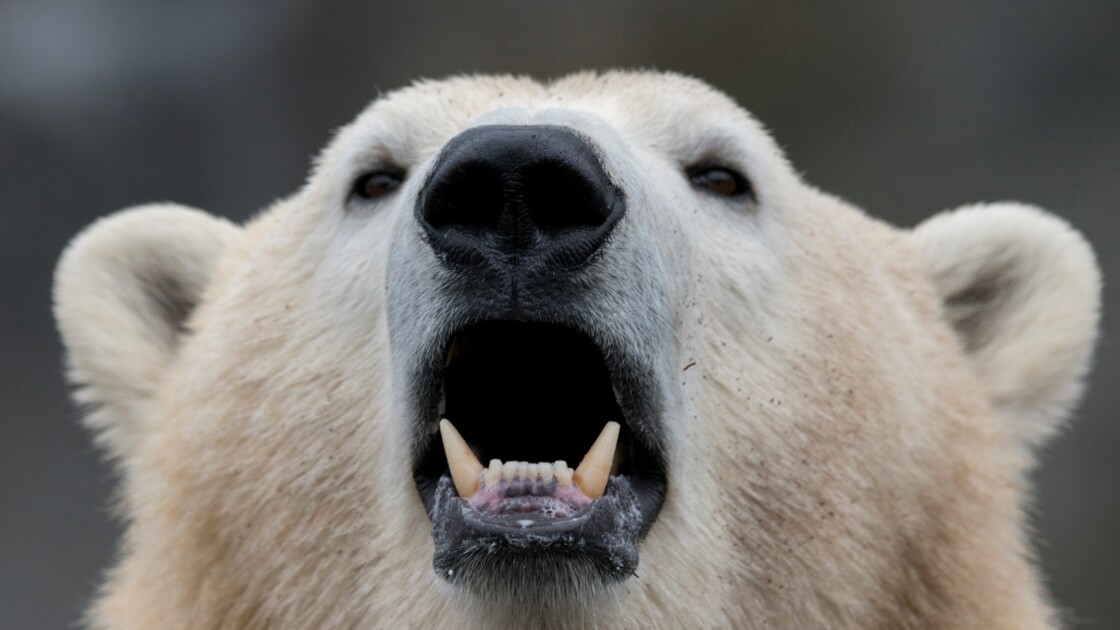 Invasion d'ours polaires agressifs dans un archipel arctique russe