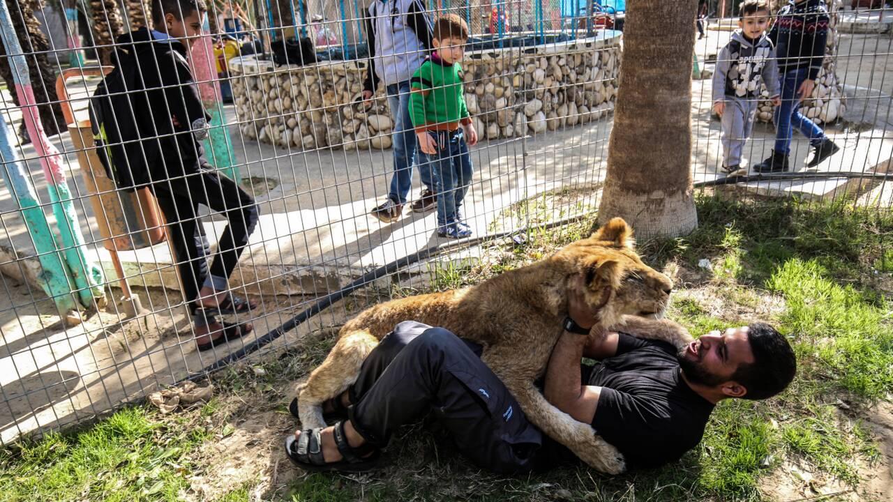 A Gaza, un zoo propose aux visiteurs de jouer avec une lionne