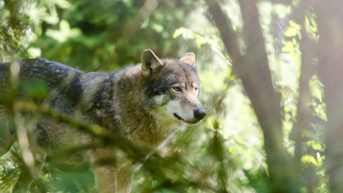 Un loup filmé en pleine course par un automobiliste dans l'Isère ?