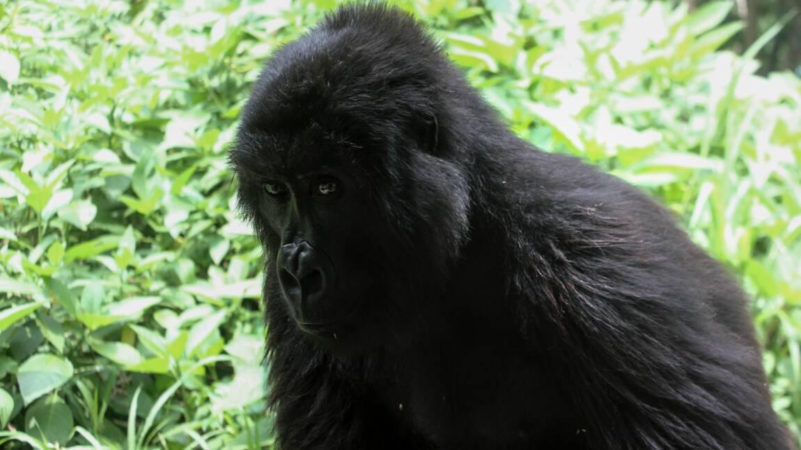 RDC: le parc national des Virunga rouvert aux touristes