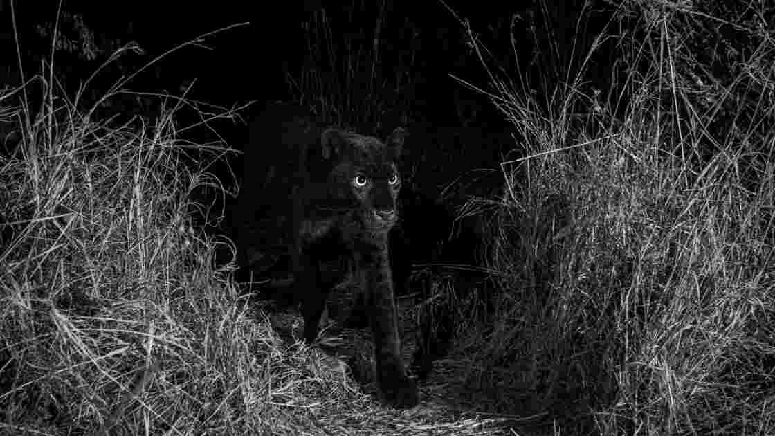 Léopard noir au Kenya : des photos rares, mais pas inédites