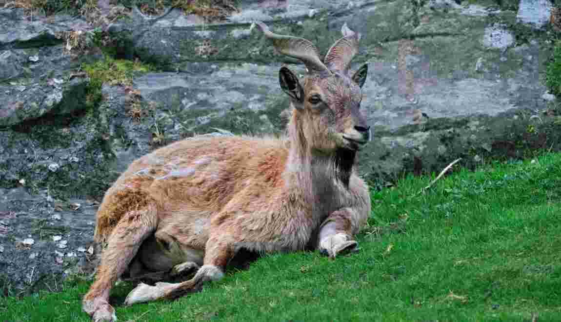 Un chasseur américain débourse 110.000 dollars pour tuer une chèvre rare au Pakistan