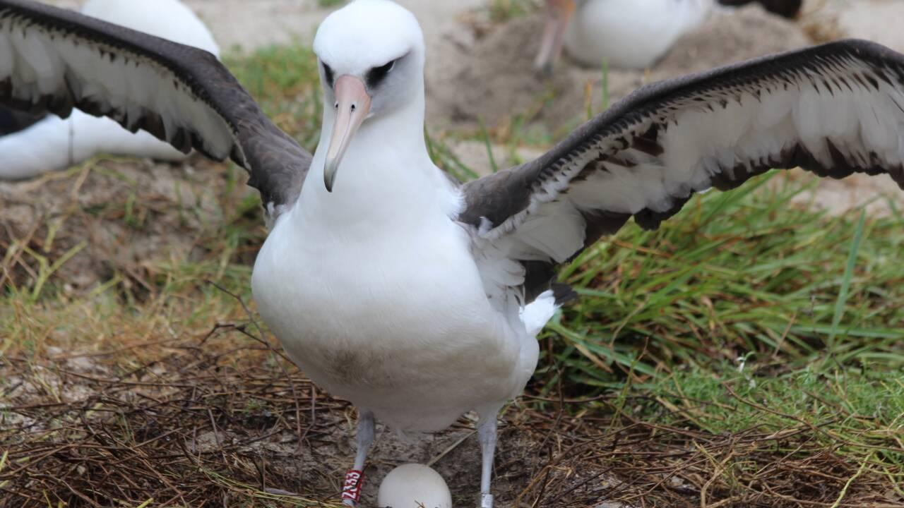 Wisdom, le plus vieil oiseau au monde, est une nouvelle fois devenue mère