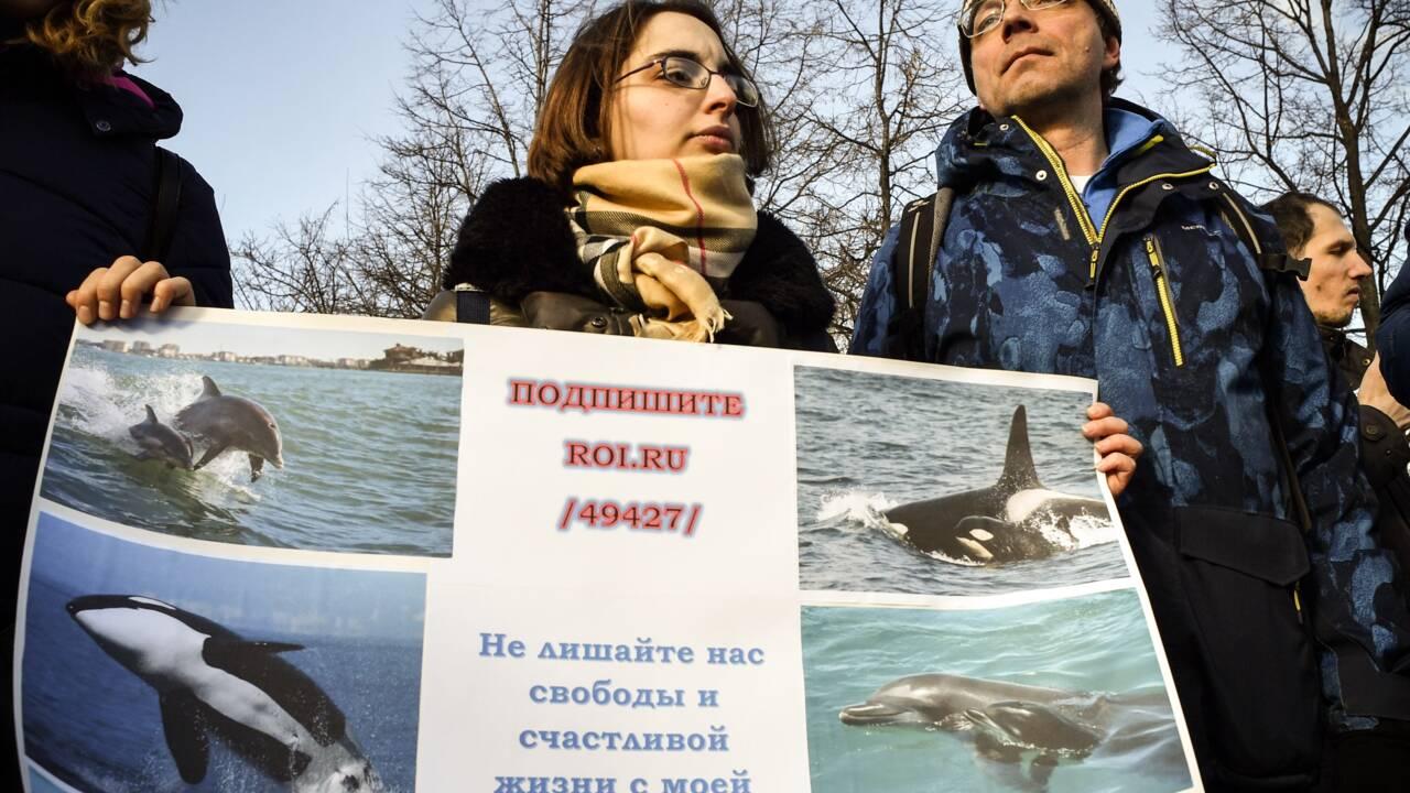 Russie: commerce trouble et lutte d'influence autour des orques et bélugas