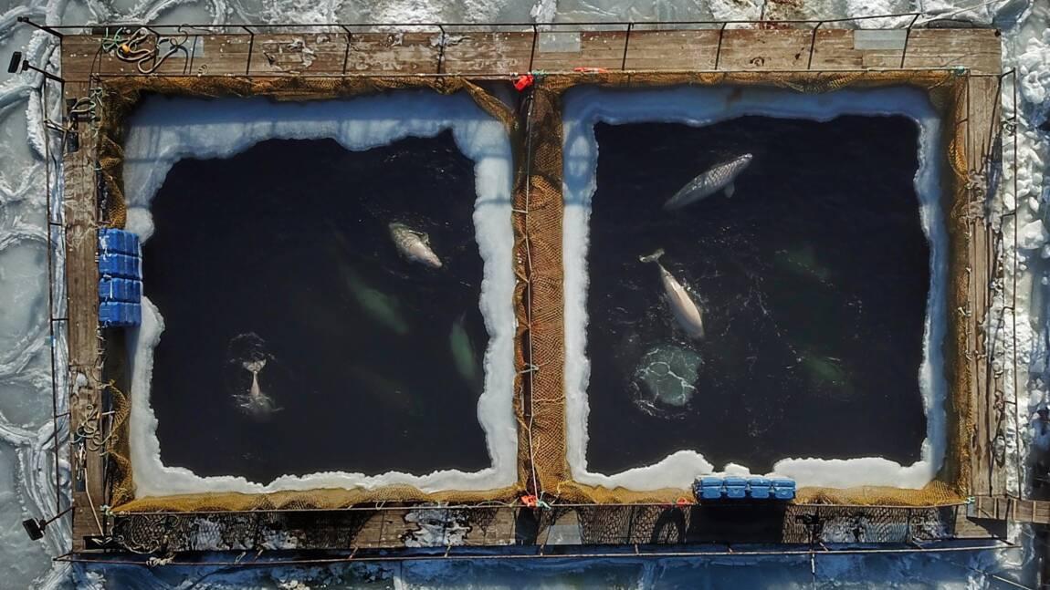 La Russie annonce la libération imminente d'orques retenus en captivité