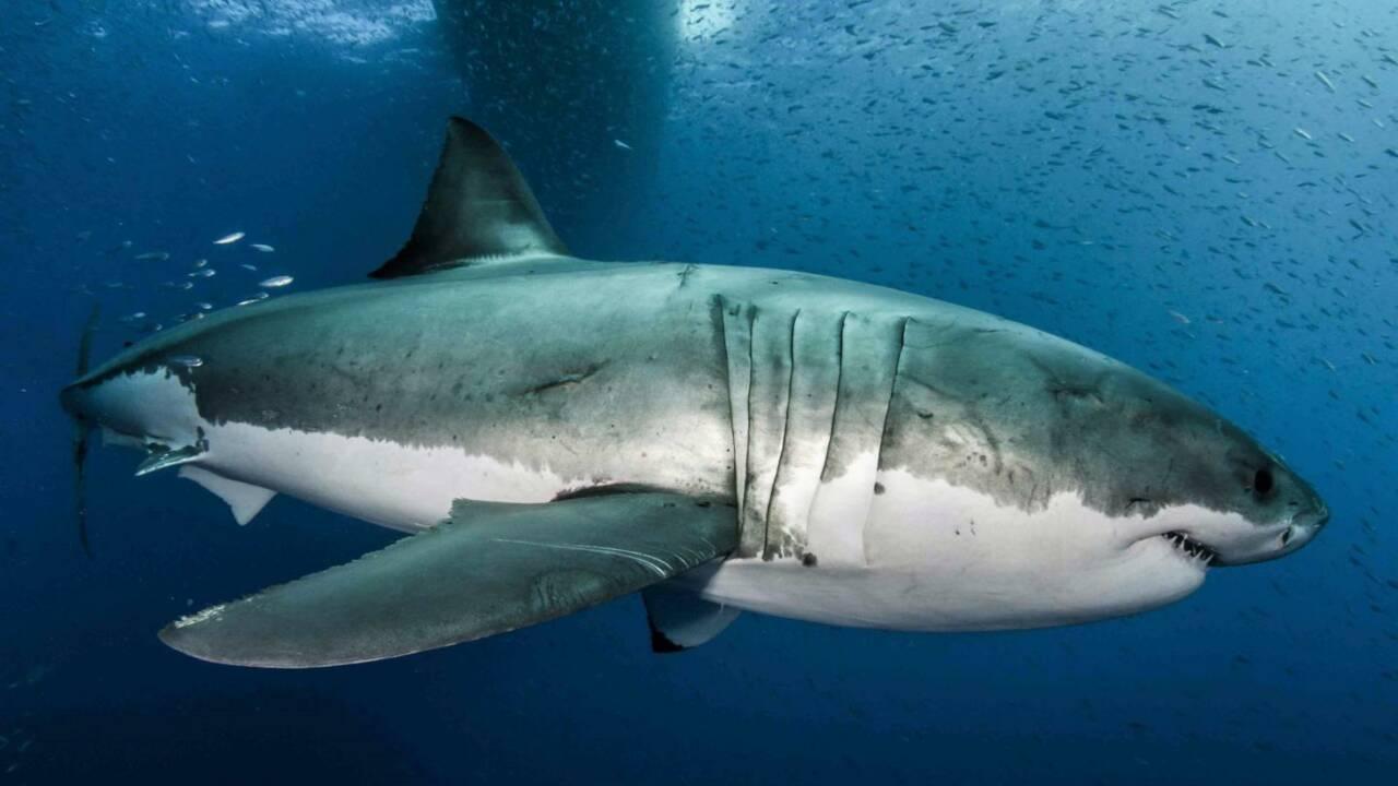 """Le génome des grands requins blancs révèle le secret de leurs """"superpouvoirs"""""""