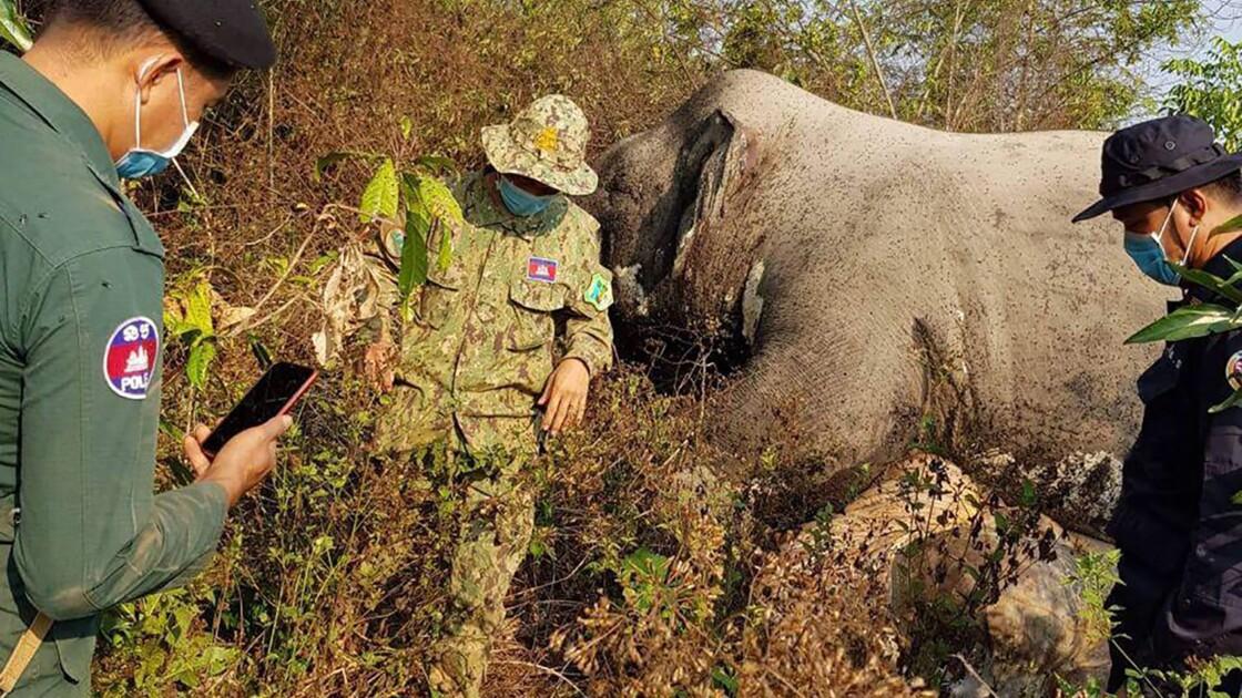 Cambodge: un éléphant retrouvé mort, la queue et les défenses coupées