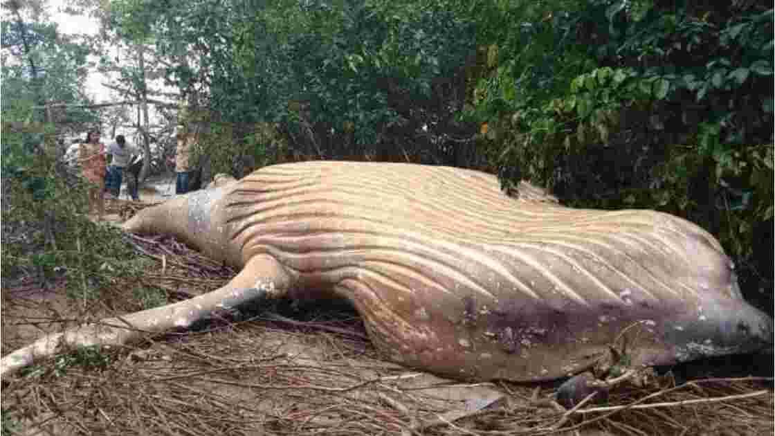 Une baleine à bosse retrouvée échouée dans la forêt amazonienne intrigue des biologistes