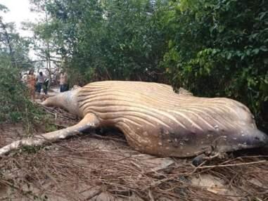 Une baleine à bosse s'échoue au milieu de la jungle amazonienne