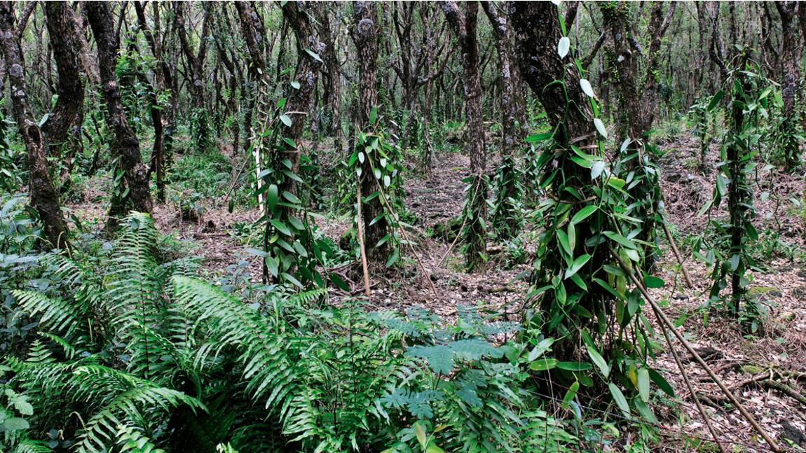 Île de La Réunion, Sainte-Rose : sur la route de la meilleure vanille du monde