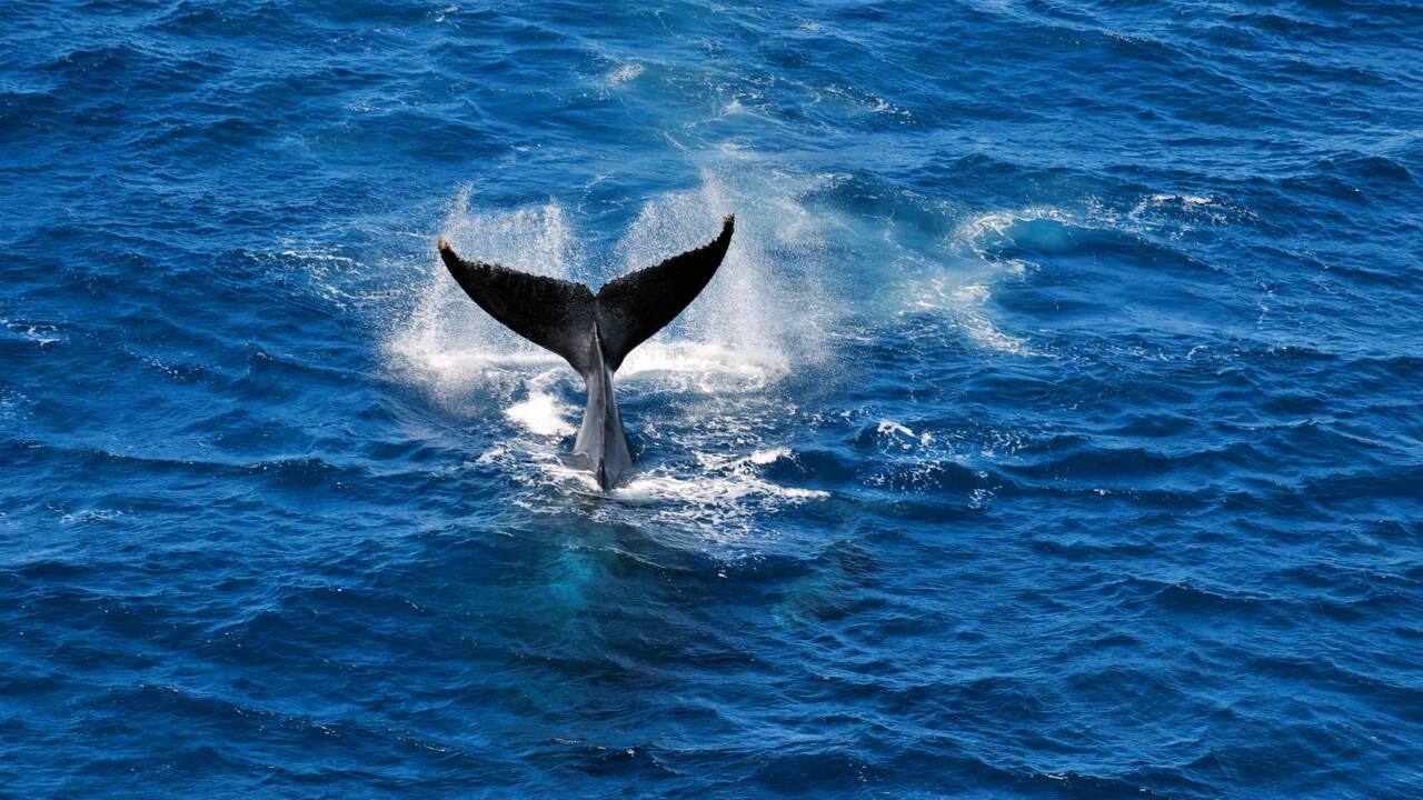 Île de La Réunion, Côte-sous-le-vent : à la rencontre des grands cétacés de l'océan Indien