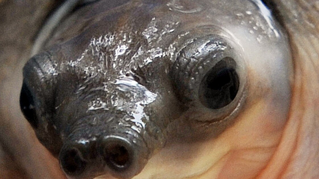 Des trafiquants arrêtés avec plus de 3.000 tortues rares