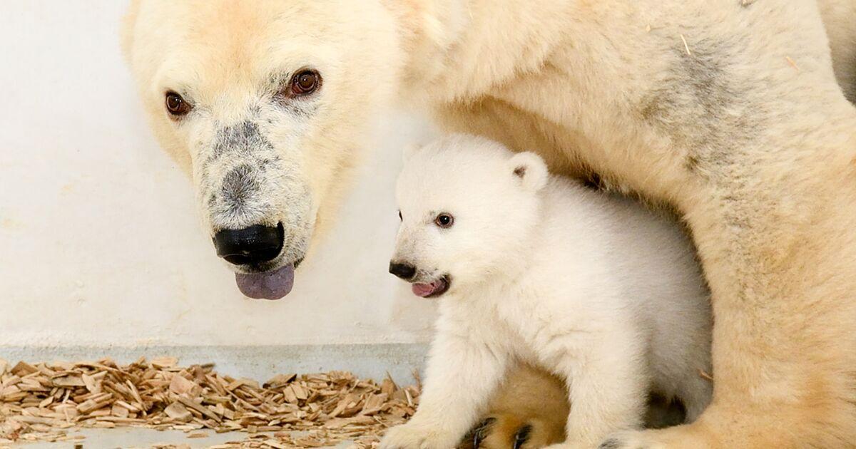 Le zoo de Berlin dévoile son petit ours polaire dans de nouvelles images