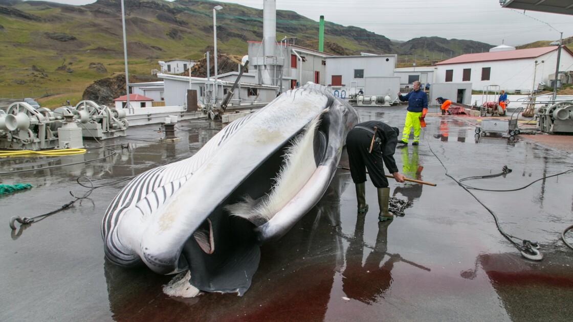 L'Islande augmente ses quotas de chasse à la baleine : un coup de bluff ?
