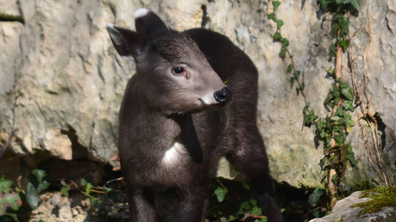 Le Zoo de Lyon accueille un petit élaphode, une espèce menacée en Chine