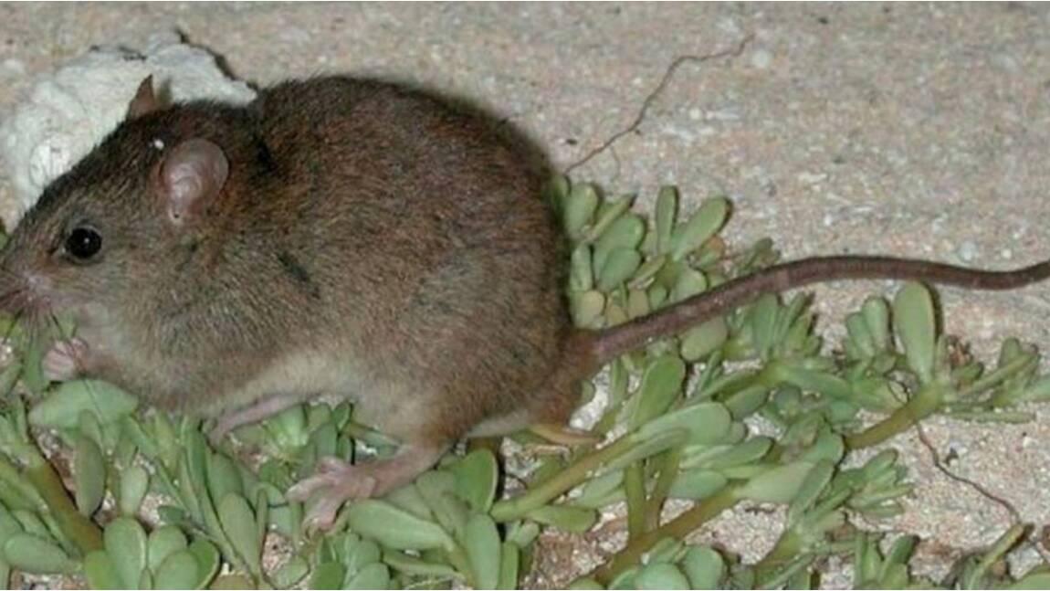 Le Melomys rubicola est le premier mammifère disparu à cause du réchauffement climatique