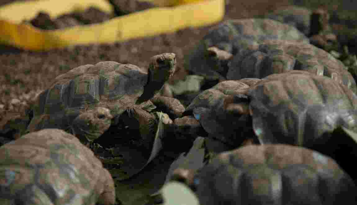 En Equateur, 155 tortues géantes repeuplent une île des Galápagos