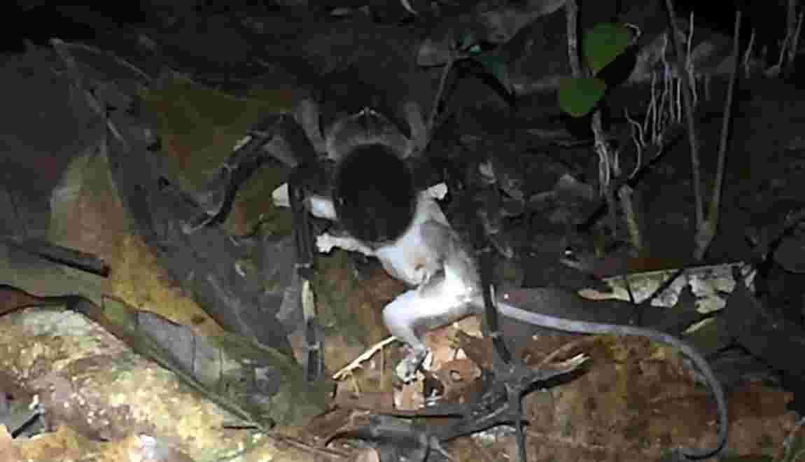 Des chercheurs surprennent une mygale s'attaquer à un jeune opossum en pleine forêt amazonienne